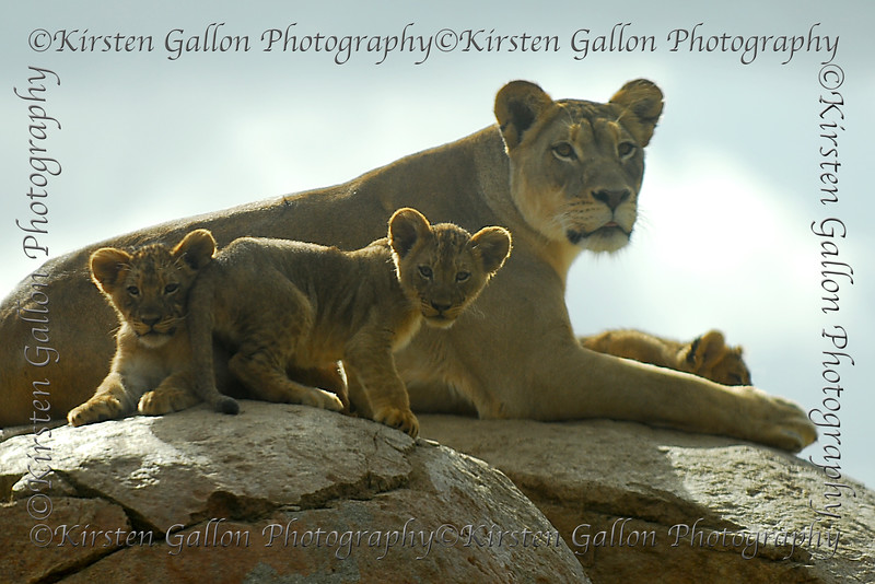 Around the last week in January 2008, they released the new lion cubs out on exhibit..  There are seven of them from two different mothers.  This was shot through a plexiglass window in the close-up viewing area so it has a bit of a hazy look to it.
