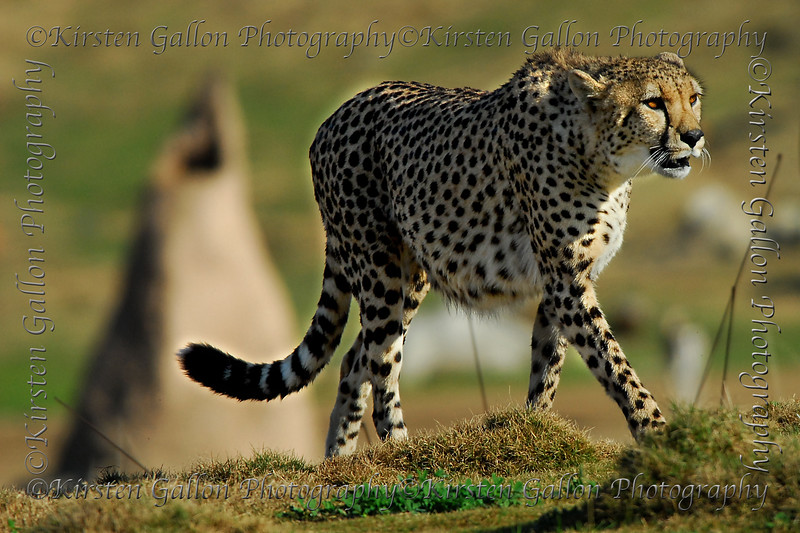 The fastest animal on the planet, the cheetah.