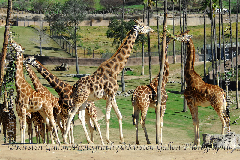 The giraffes.