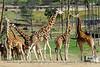 The giraffes.