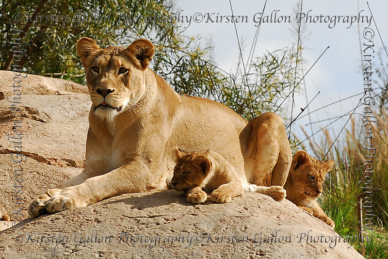 One of the lionesses and a couple of the cubs.