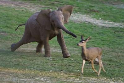 Playing chase, San Diego Wild Animal Park