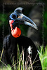 This is the Abyssinian Ground Hornbill.