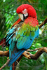 Green-winged Macaw primping.