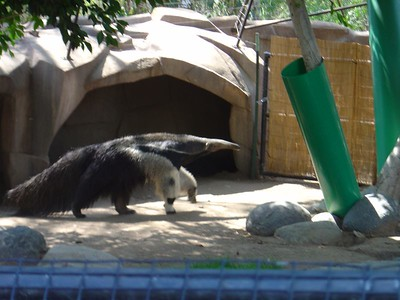 South American Anteater