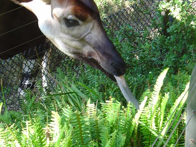 Okapi and its famous tongue
