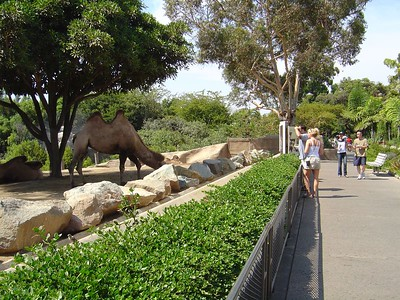 Camel and pathway