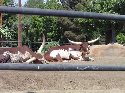 African longhorn cattle