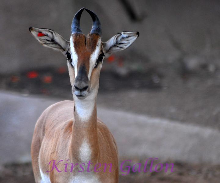 Nubian Soemmerring's Gazelle