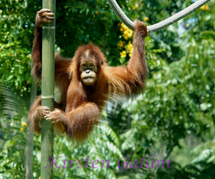 Satu, the class clown.  He is a Sumatran Orangutan.