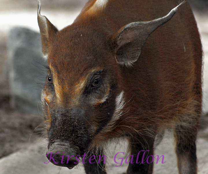 Red River Hog. Potamochoerus porcus porcus.