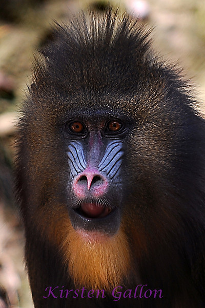 This is the female mandrill