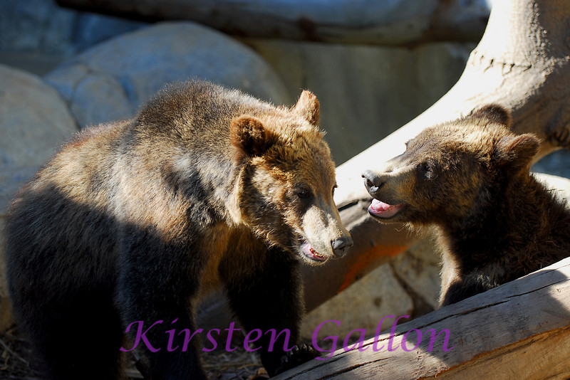 The grizzly bear brothers at play.