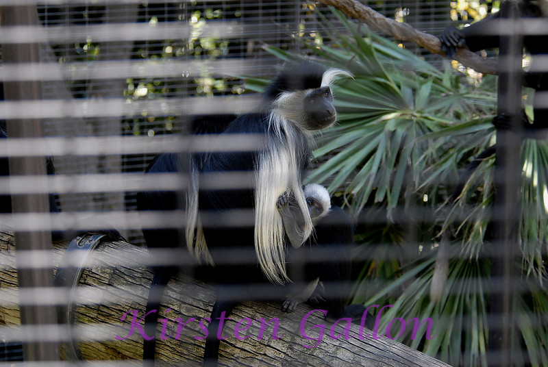 Western Angolan Colobus.  I did my best to get a good shot through the cage.  The baby was so cute as it was almost pure white.