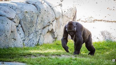 Gorilla at the San Deigo Zoo
