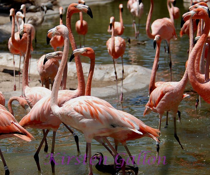 Caribbean Flamingos.