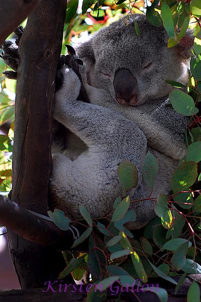 A Koala doing what they do best, sleeping.