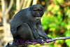 Allen's Swamp Monkey.  allenopithicus nigroviridis