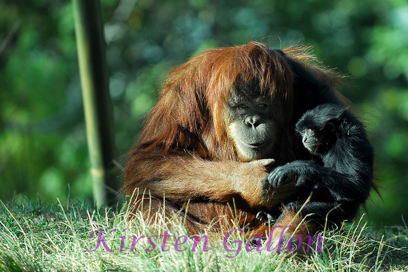 Josephina shows some motherly love to one of the Siamangs that share space with the orangutans.