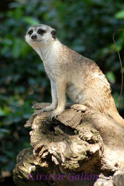 A meerkat.