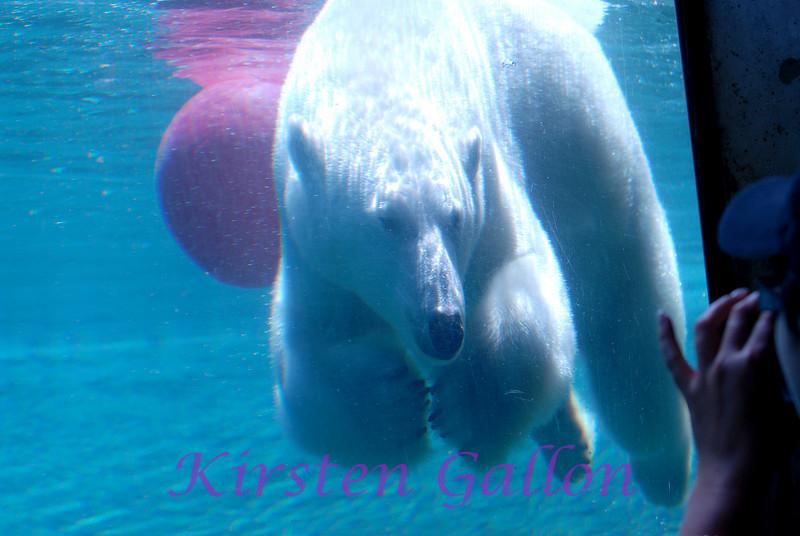 The polar bear taking a swim.