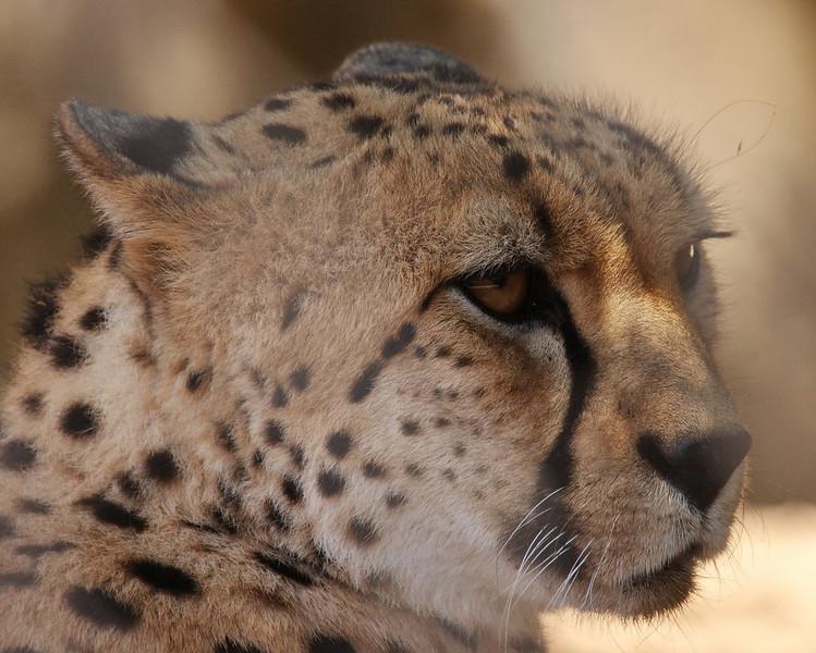 Cheetah - shot thru a fence so some blurring.