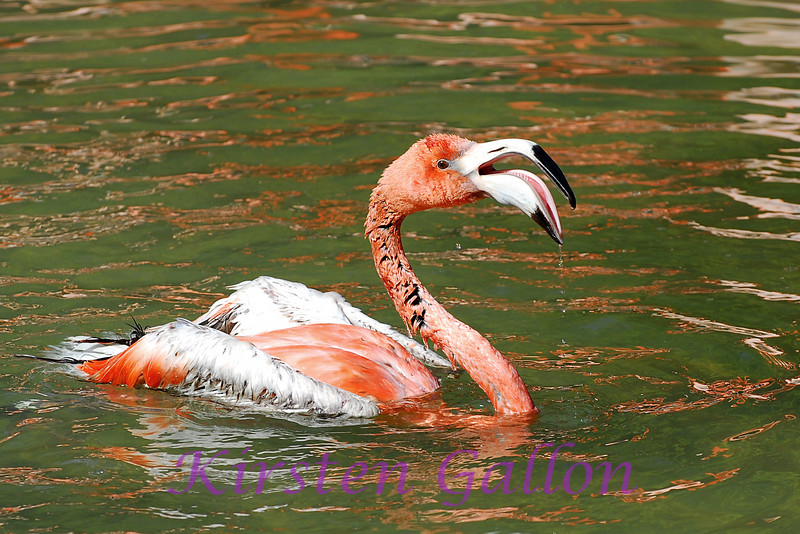 A flamingo taking a swim.  A very rare treat.