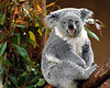Koala Bear that just doesn't care.