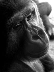 San Diego Zoo Ape