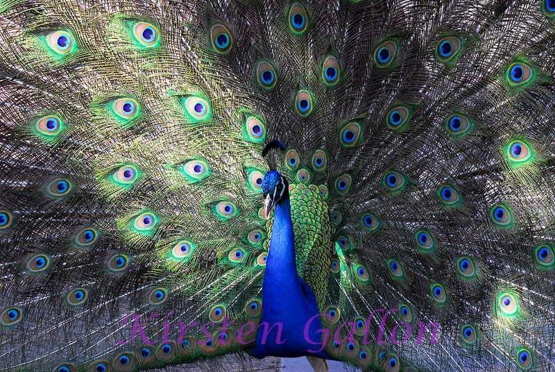 Even though I was lucky enough to have him show his tail feathers,  this peacock proved to be a very difficult subject to photograph.