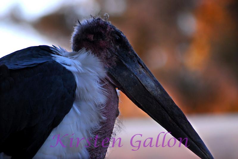 A Marabou Stork.