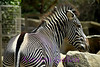 The zebra.  The stripes of the zebra always seem amaze me.