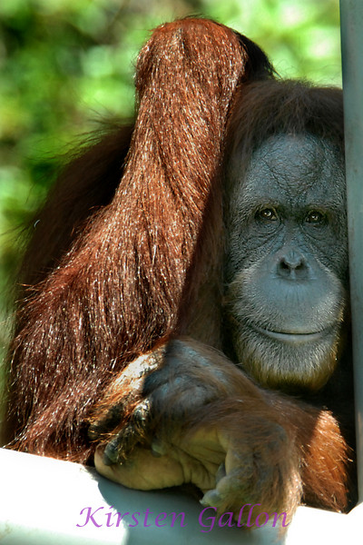 This is Janey.  She is a Bornean Orangutan.
