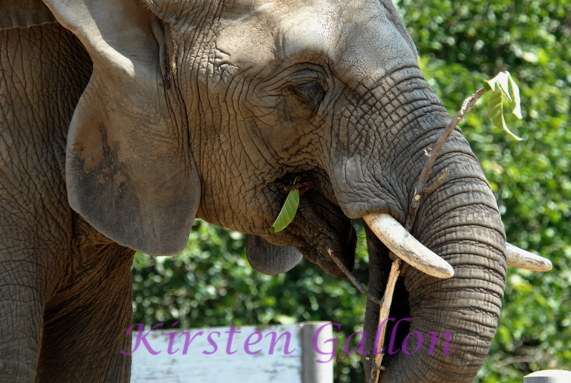 African bush elephant.