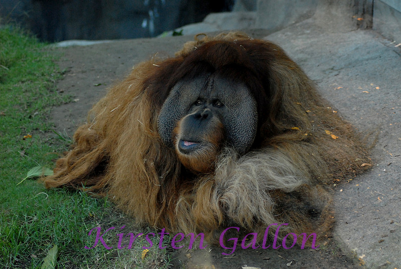 My buddy Clyde, known as the Gentle Giant.  He is a Sumatran Orangutan.