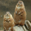 Two Prairie Dogs hanging out