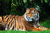 Sumatran Tiger.  I think these are the most beautiful animals in the world.