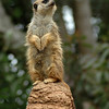 Meerkat on top of his throne
