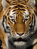 This is Tatiana The Tiger From San Francisco Zoo Taken Dec. 23rd 2007