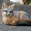 Contented and restful gray fox.