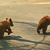 Two cubs scamper playfully across road.