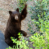 Black bear looking guilty after being spotted stealing apples from inside protective cage around tree.