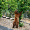 Bear stretching above protective wire mesh cage to eat ripe apricots.