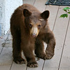 Curious bear cub on front deck stares at the camera.