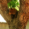 Playful but wary bear cub perched in tree fork.