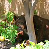Bear taking an afternoon siesta under shady lemon tree.