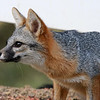 Alert gray fox concentrating intently on a ground squirrel as its potential prey.