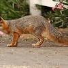 Alert gray fox.