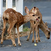 Two young spotted fawns at dusk.