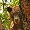 Mama bear in tree keeping a careful eye on her two scampering cubs.